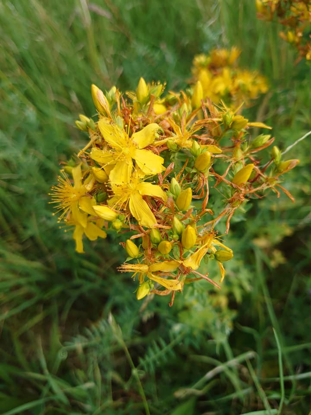 St Johns Wort, Swaddywell Pit  Photo: Kevin Eldred