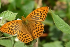 Silver-washed fritillary at Castor Hanglands.  Photo by Cliff Stanton