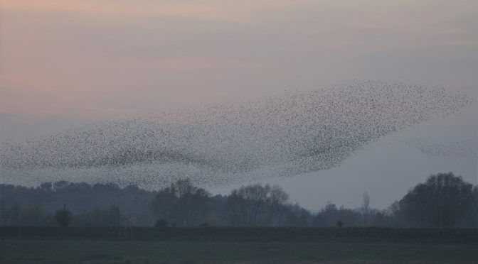 New murmuration video