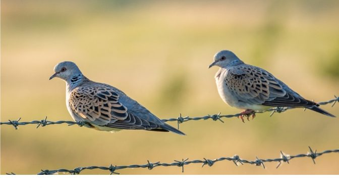 Saving the turtle dove